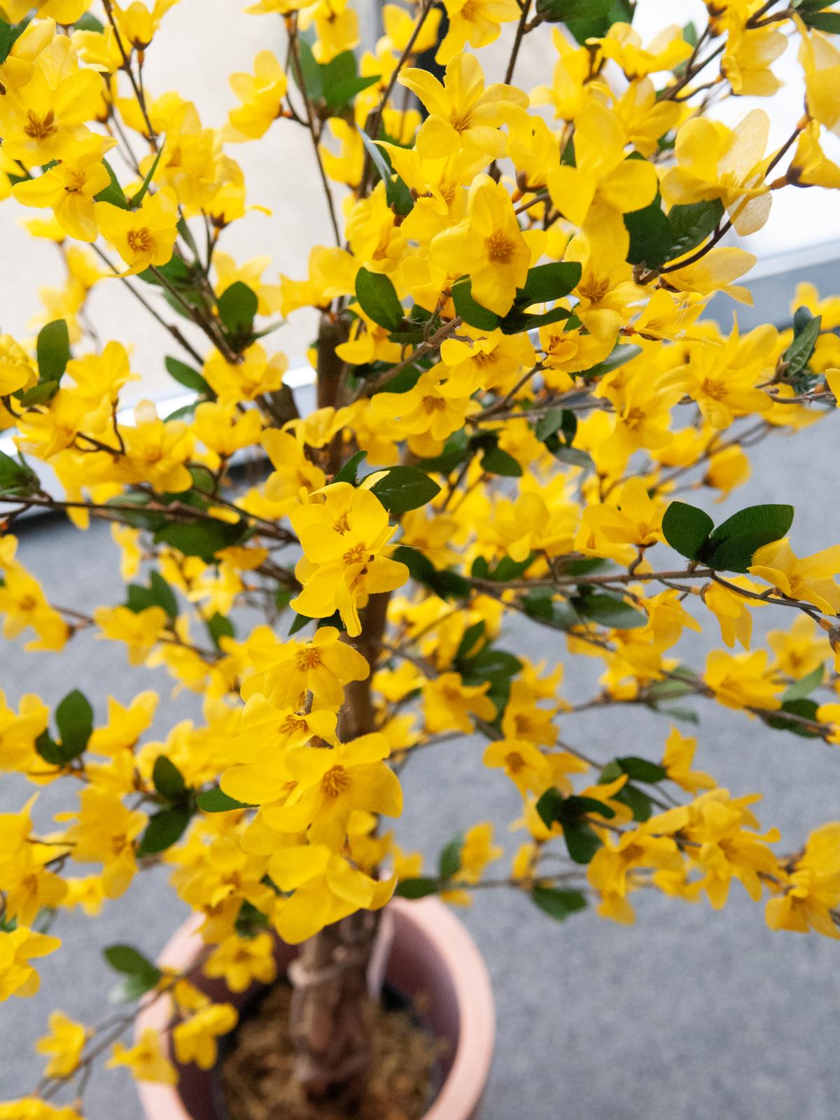 EUROPALMS Forsythia albero con 4 tronchi, giallo, 150 cm
