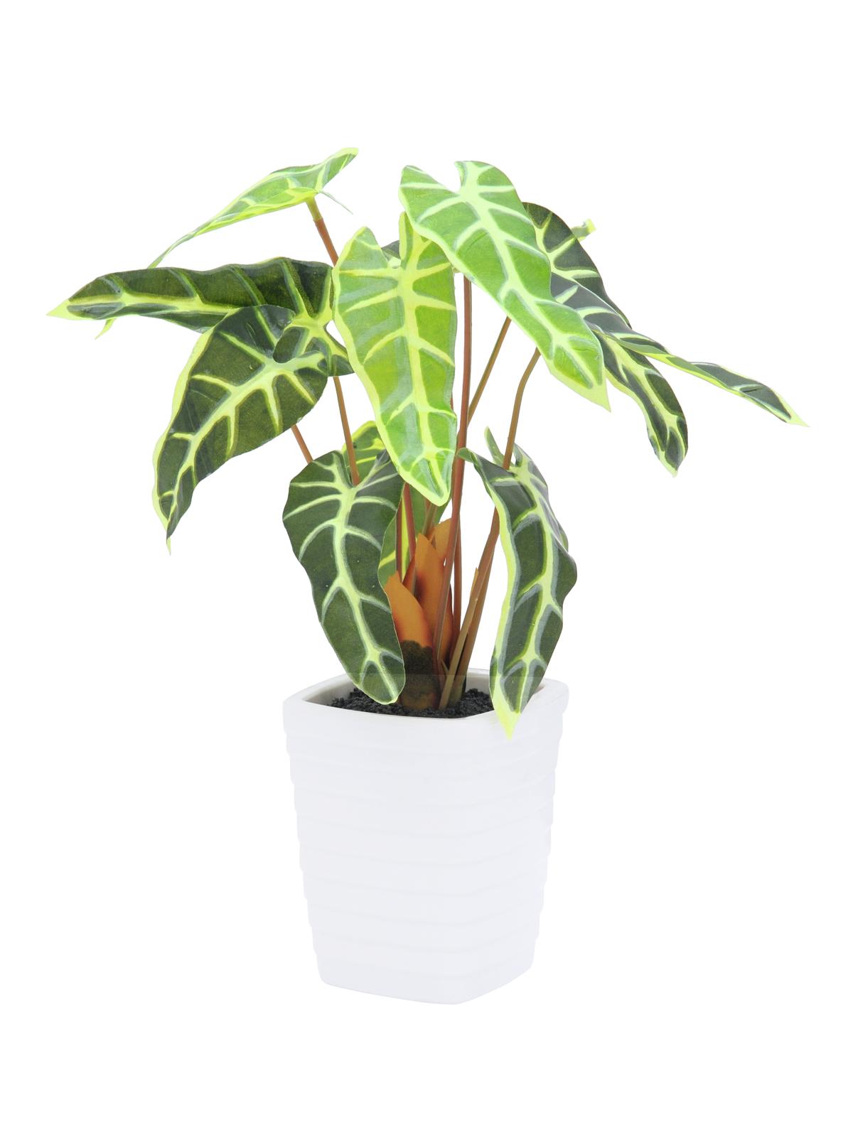 EUROPALMS Caladium pianta, bianco-verde, 35cm