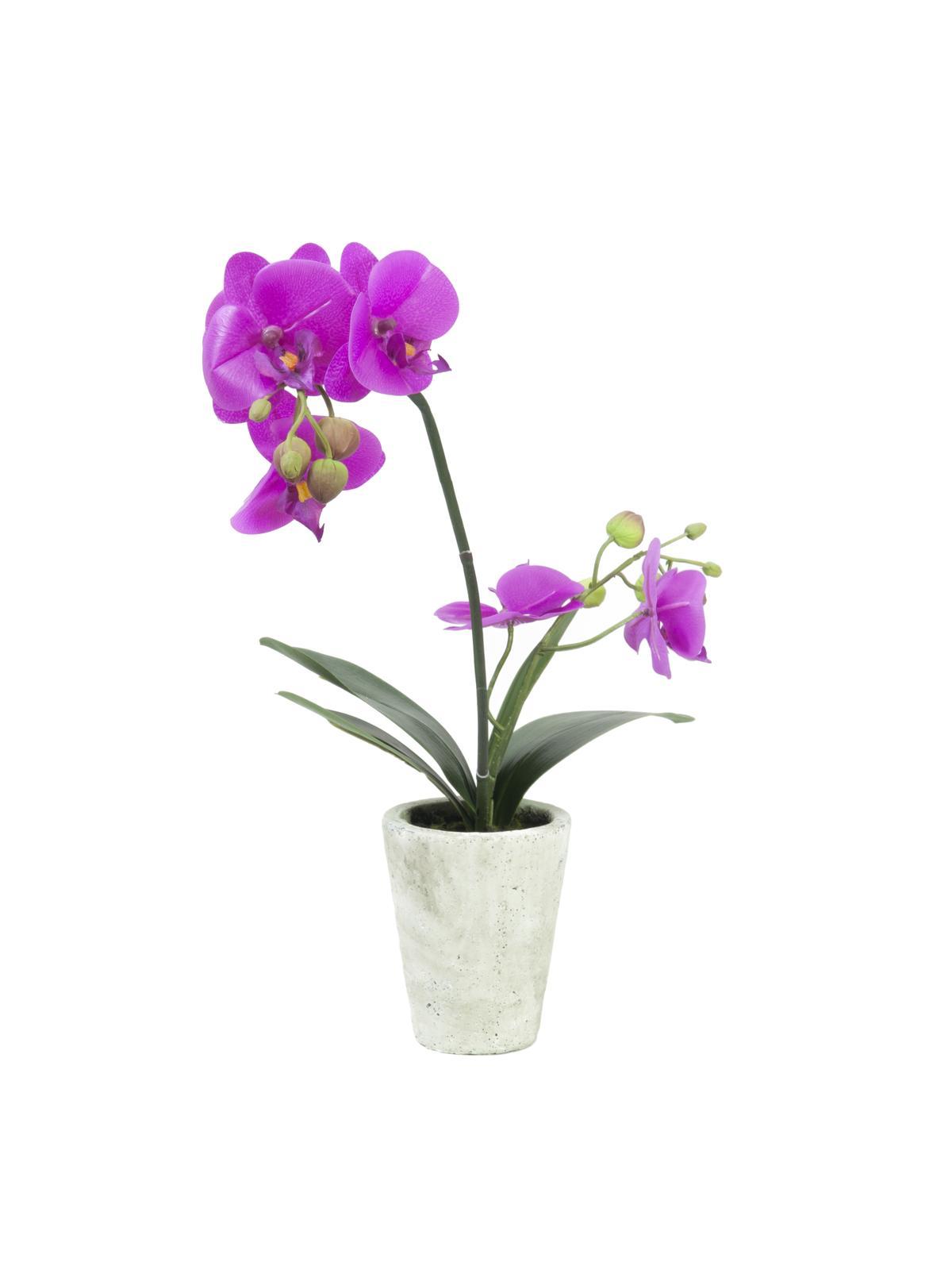 EUROPALMS Orchidea disposizione 3